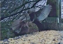 Two Blackbirds in dispute on Geoff's seat 31st Dec 2020.2 - Copy