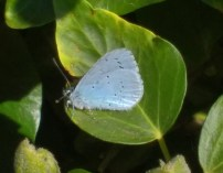 Male Holly blue 4th May 2017 lane back of new Vickerstown cshool