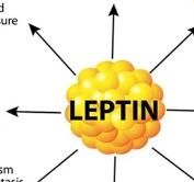 leptin hormones