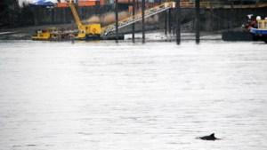 Schweinswal bei Entenwerder (Elbe)