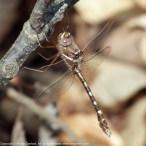 Stream Cruiser dragonfly (male)
