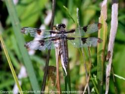 Twelve-spotted Skimmer dragonfly | female