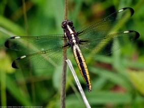 Spangled Skimmer dragonfly | immature female
