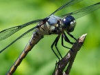 Great Blue Skimmer dragonfly | young male