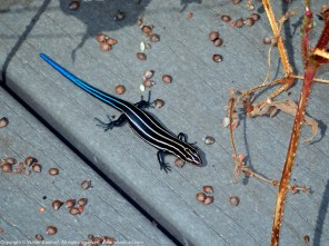 Common Five-lined Skink (juvenile)