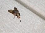 15 September 2014. Photo 2. Horse fly (female).