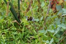02 SEP 2012 | PRR | Widow Skimmer (male)