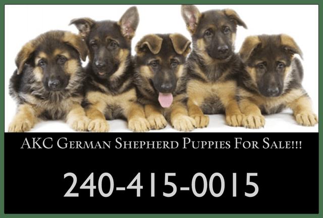 Walters K9 Kennels – Top quality German Shepherd Puppies