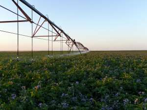 Walther Farms Irrigation on Purple Blooming Field