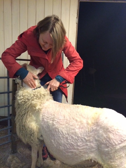 A person shearing a white sheep with hand shearers.