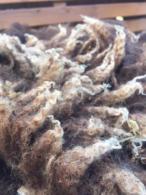 Close-up of a brown Shetland fleece