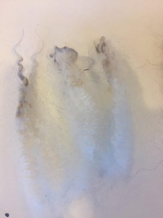 Three staples of white, crimpy wool