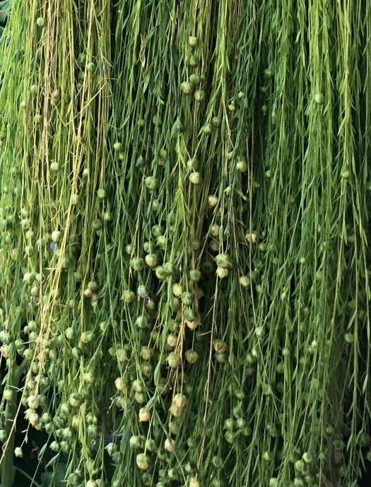 Bundles of flax hanging to dry