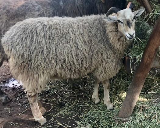 Gute ewe at the Skansen outdoor museum