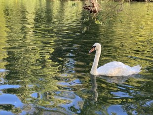 The swan that lives in Walton Pond swims around peacefully all day long.