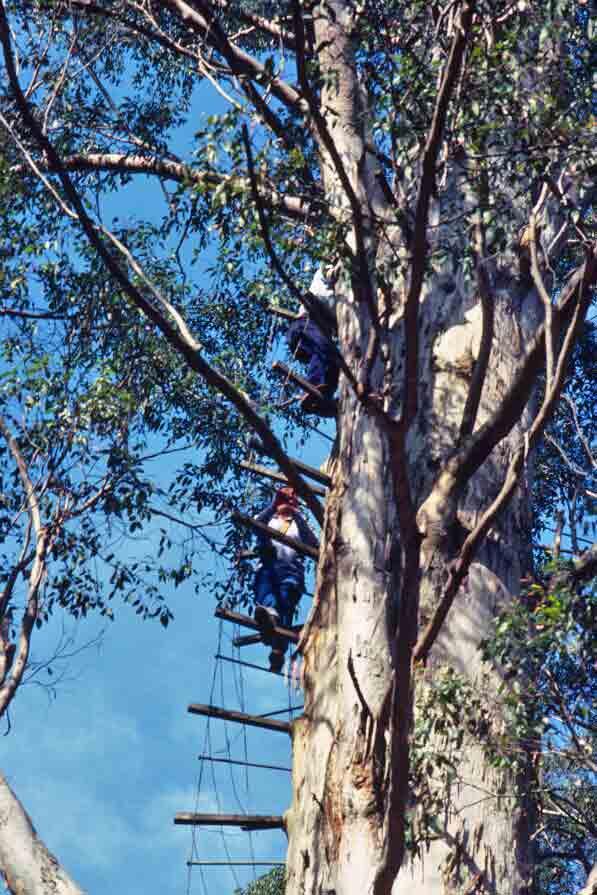 Climbers descend Gloucester Tree