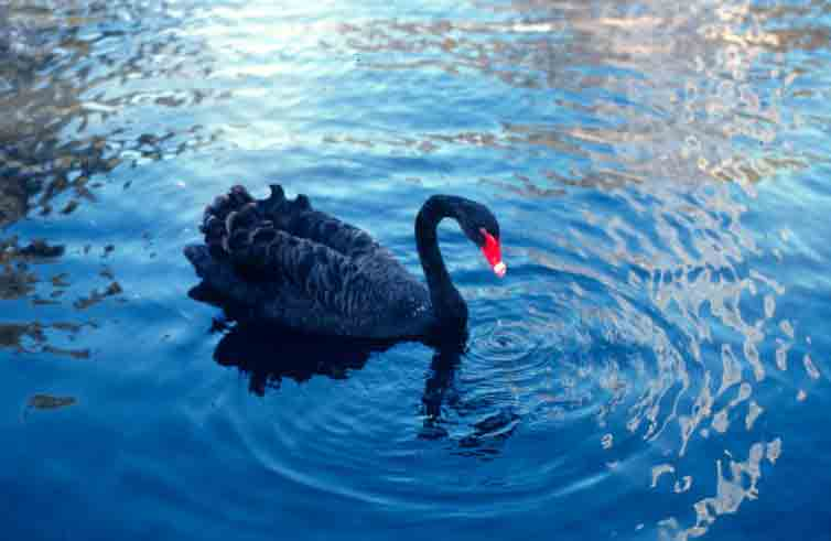 Black swan near Perth