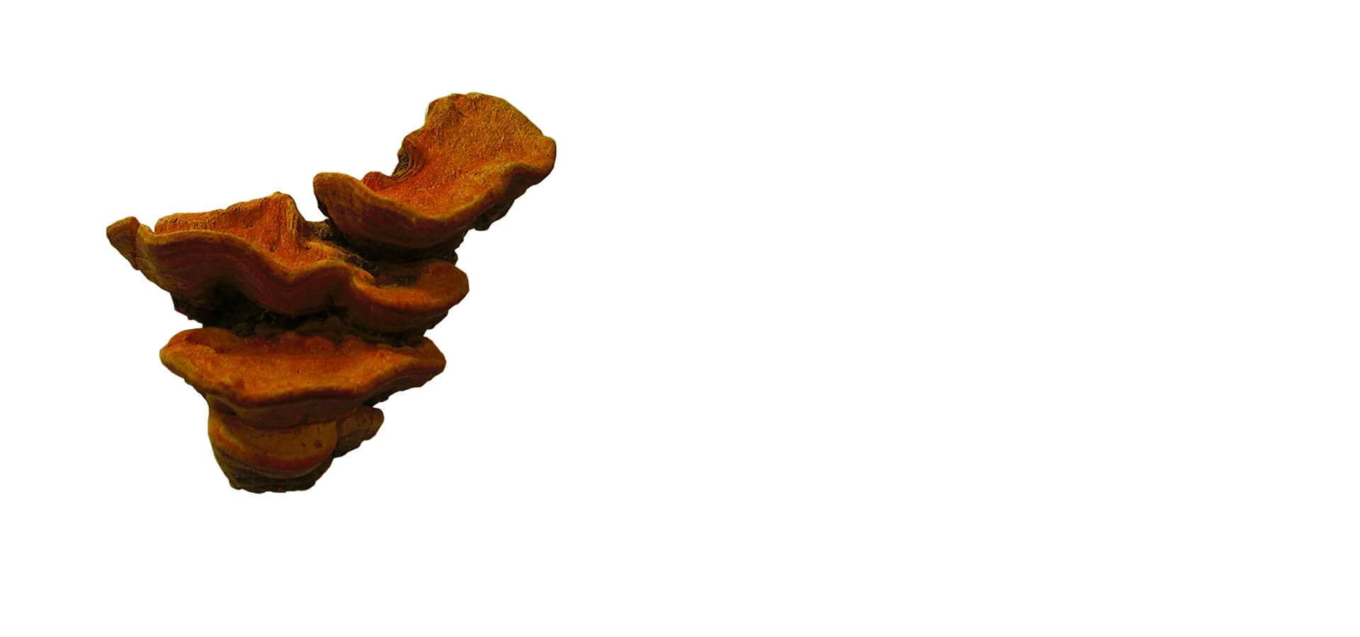 華芝堂 - 華芝牛樟芝品系中最頂級品種