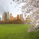 Cherry Blossoms Meadow Sheep Central Park York 1920x1080 Wallpaper Www.miscellaneoushi.com 36, WAM Partners