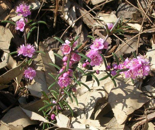 Hypocalymma strictnum plant in garden