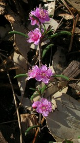 Hypocalymma strictnum flowers