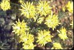 Petrophile brevifolia