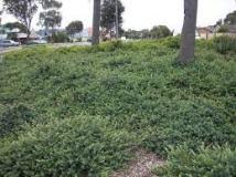 Darwinia citriodora as a groundcover From www.homedesigndirectory.com.au