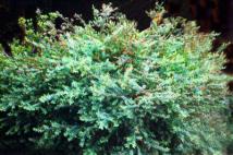 Darwinia Citriodora from http://www.australianplants.com/plants.aspx?id=1561