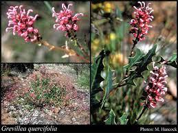 Grevillea quercifolia