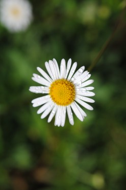 Unknow daisy. Photo by Janet Ryan.