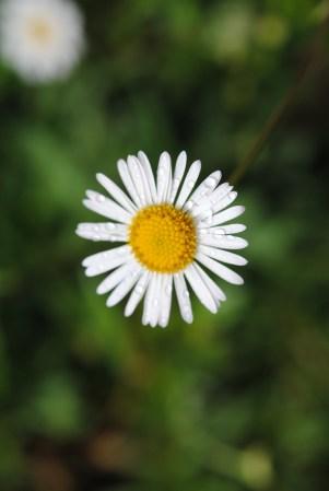 Unknow daisy. Photo by Janet Ryan.