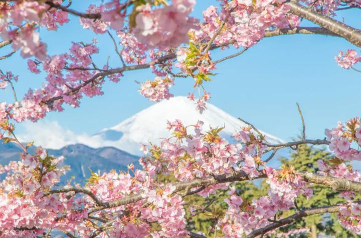 klook-tokyo-cherry-blossom
