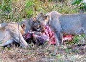 Lion kill at Hluhluwe Game Reserve.