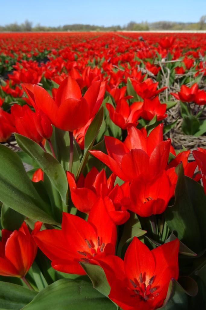 bollenstreek rood