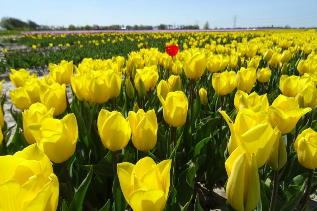tulpenveld Spijk