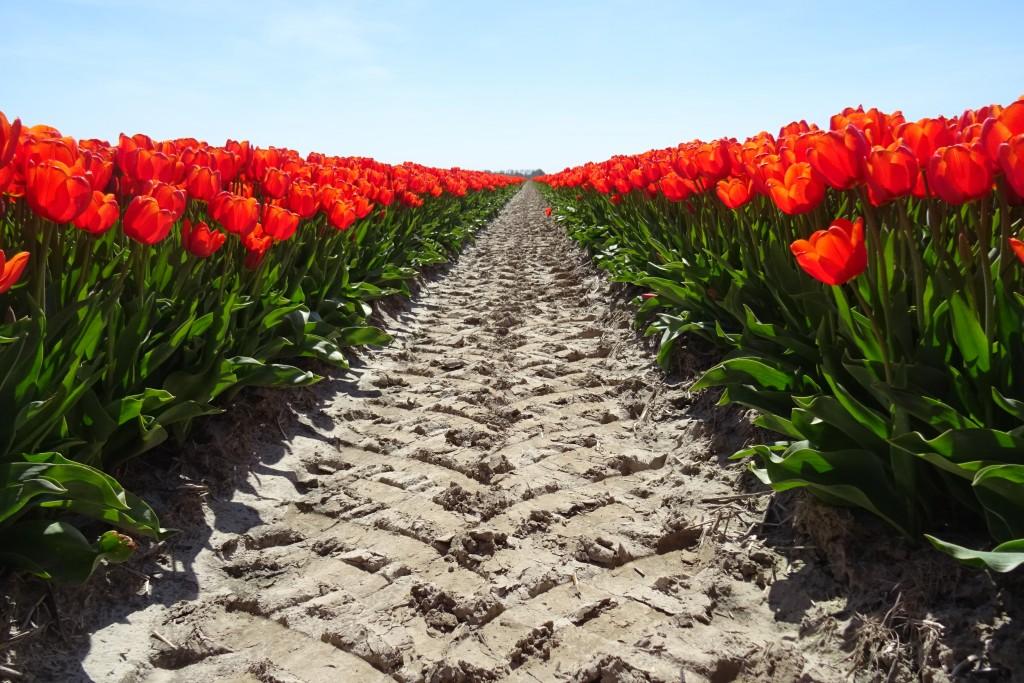 tulpenveld Uithuizermeeden
