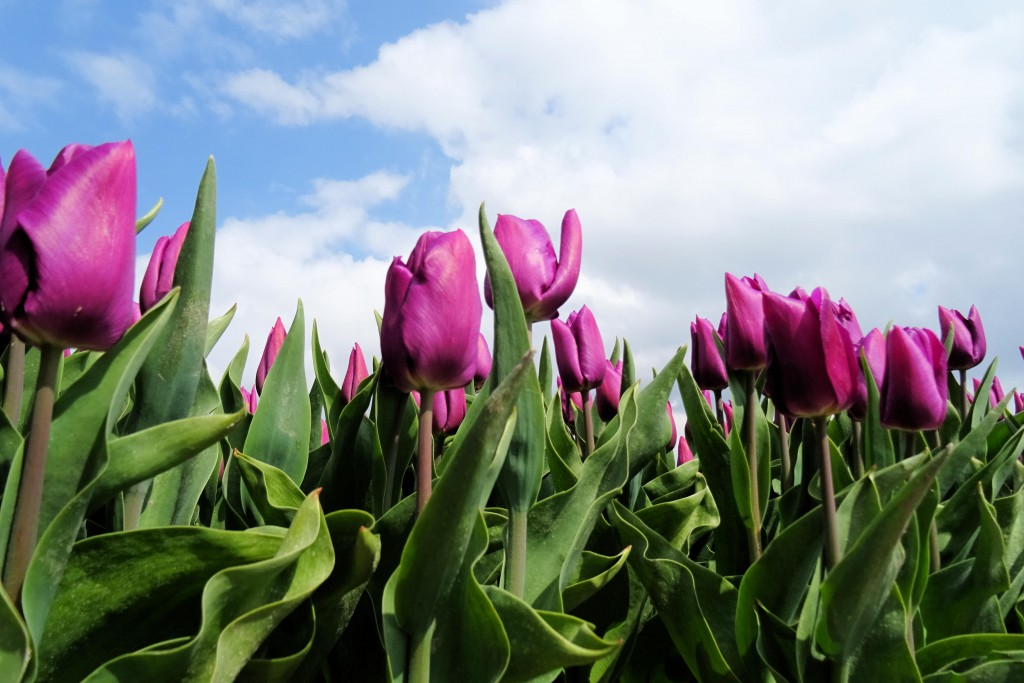 Spijk tulpenvelden Groningen