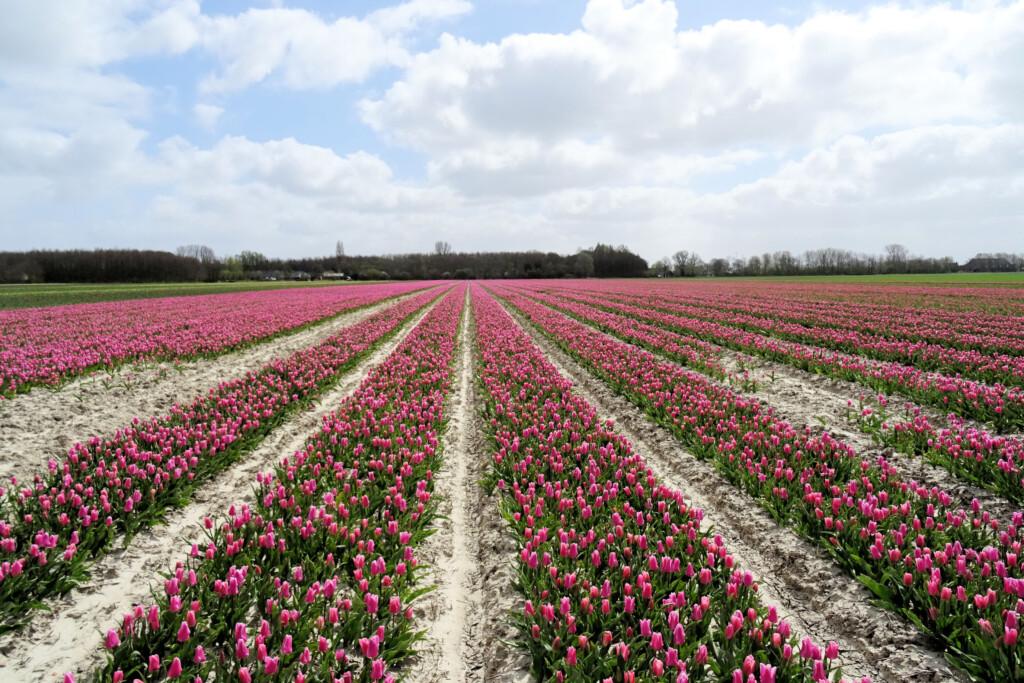 tulpenvelden 't Zandt Groningen