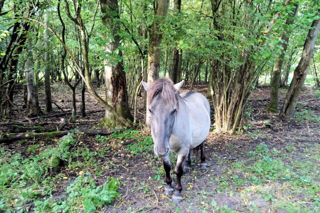 Konikpaarden Ennemaborg