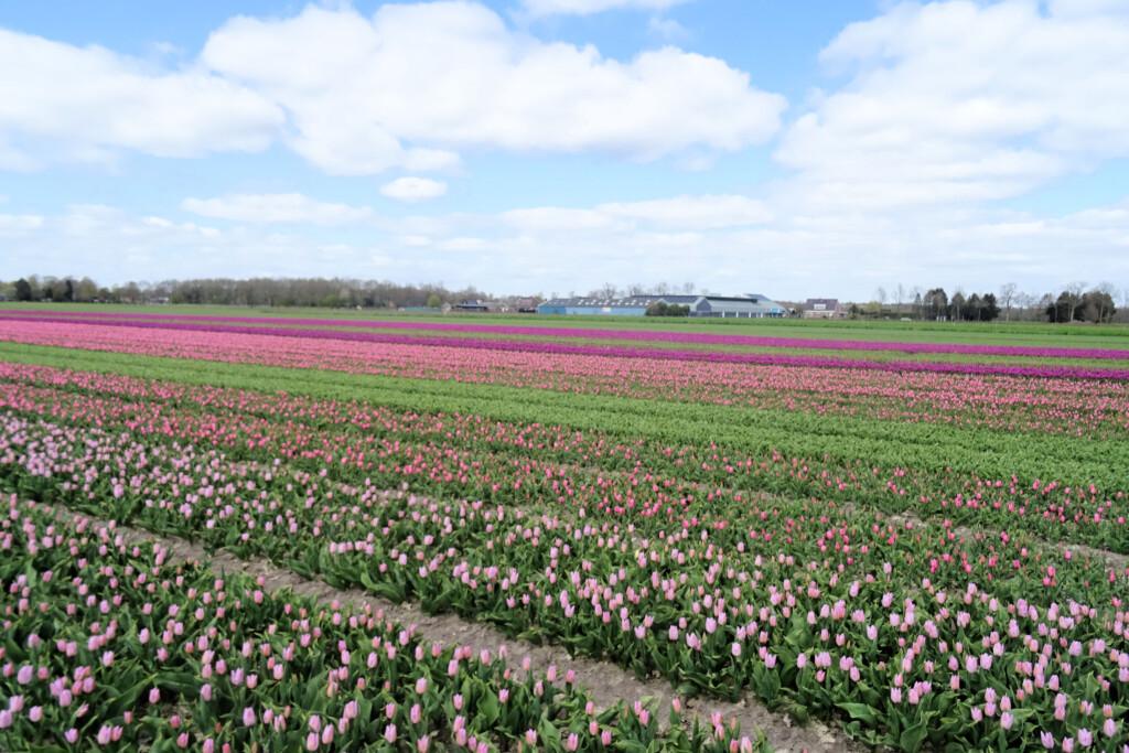 tulpenvelden Dieverbrug Drenthe