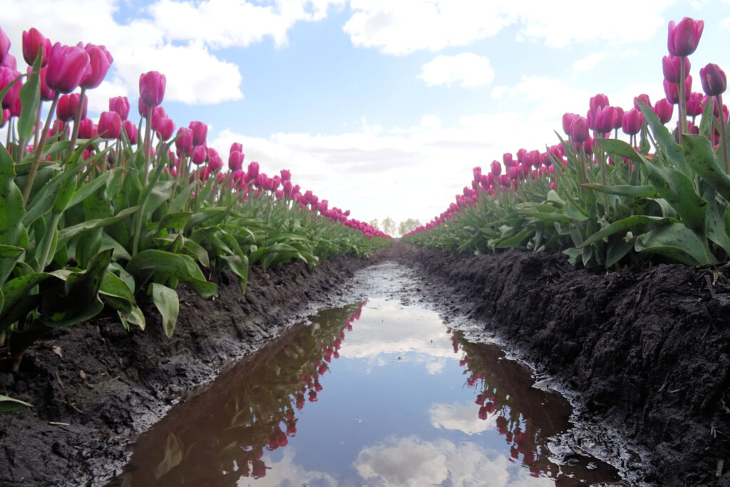 tulpenveld Dwingeloo Drenthe