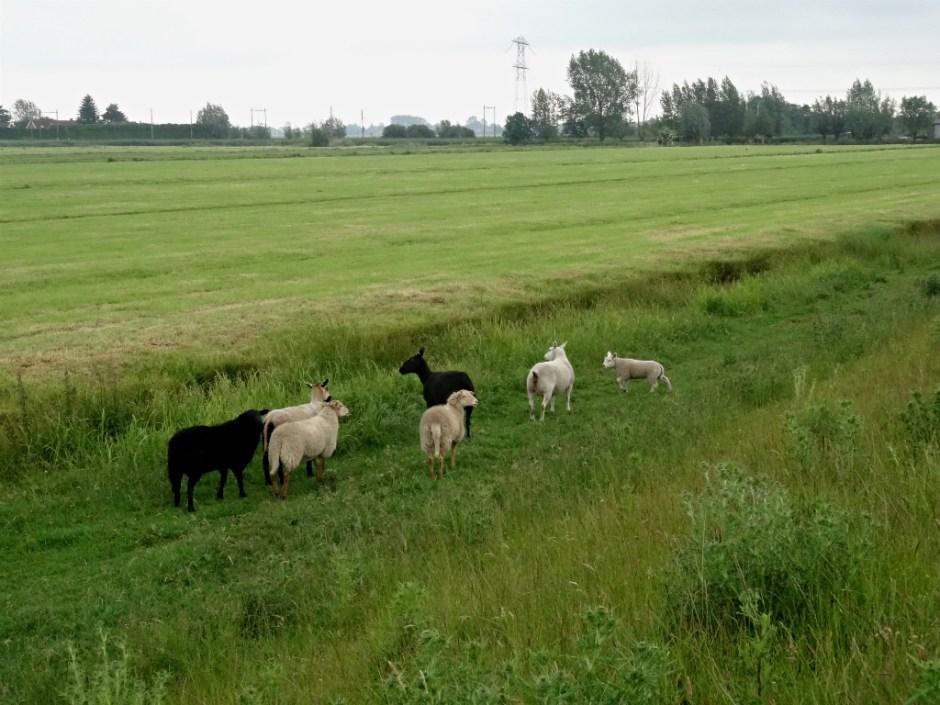 Schapen Pelgrimpspad Reeuwijk-Haastrecht