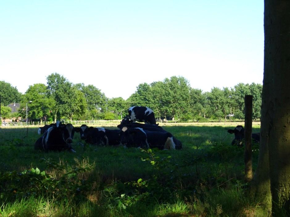 Omtrek van Amersfoort - koeien in wei