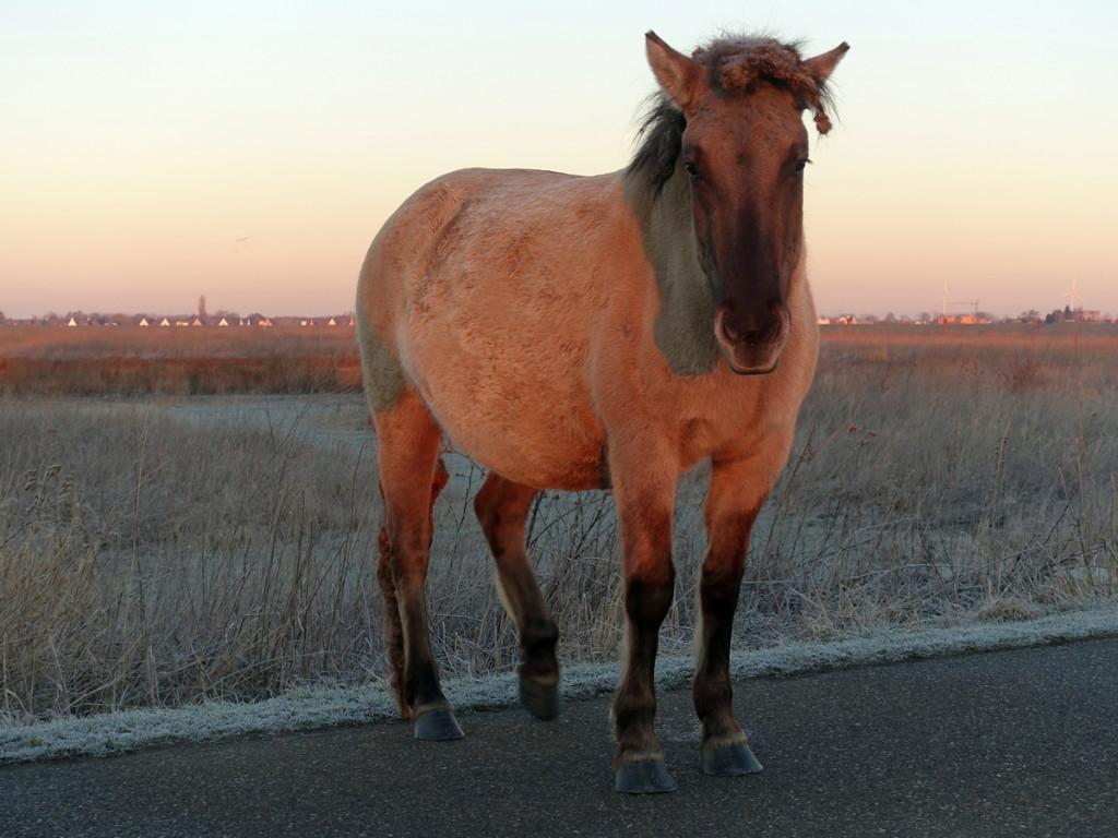 Konikpaard op de dijk in de Ooijpolder