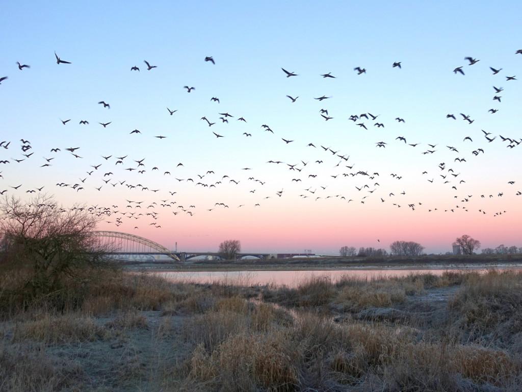 Boswachterspad Ooijpolder: Opvliegende ganzen langs de Waal