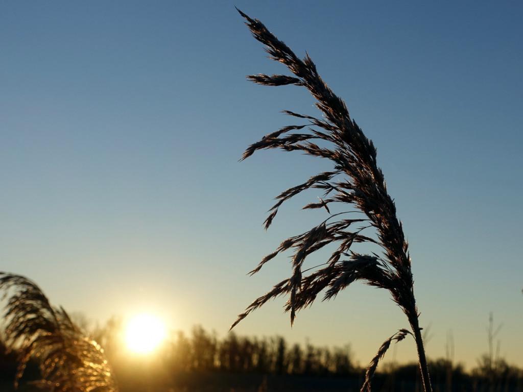 riet met zon op de achtergrond