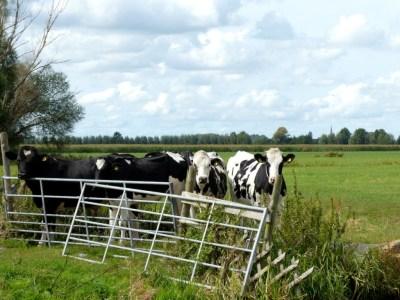 Vier koeien achter een hek van een groen weiland
