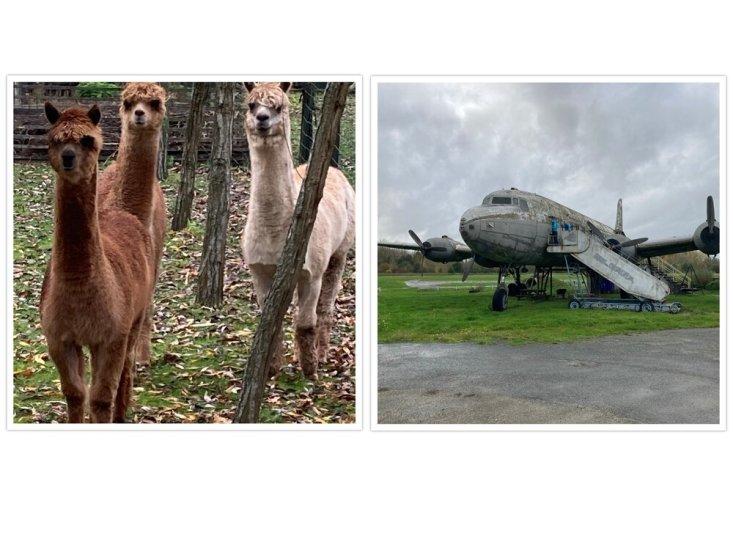 Op deze foto 2 alpacas en het vliegtuig wrak van zweefcentrum de Phoenix in Geraardsbergen