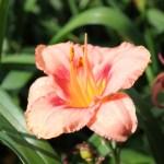 'Strawberry Candy' Mörkt korallrosa med jordgubbsrött öga och citrongul hals. Kraftigt vågiga blomkanter. 60 cm. Blommar juli-augusti.