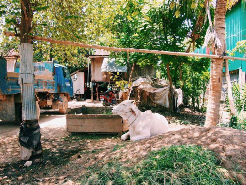 A cow sitting in a backyard on Koh Dach.